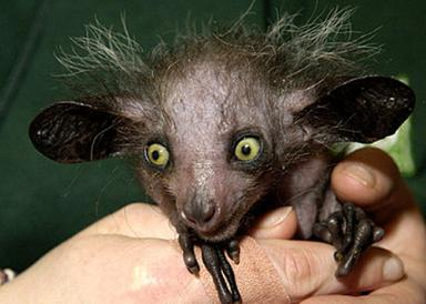 Мадагаскарская руконожка или айе-айе (Aye-aye)