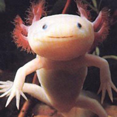Аксолотль (Axolotl)