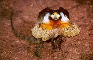 Ящерица плащеносная (Frill-necked Lizard)