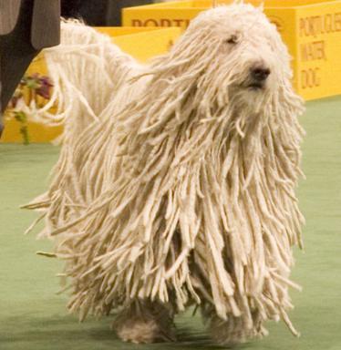 Комондор (Komondor Dog)