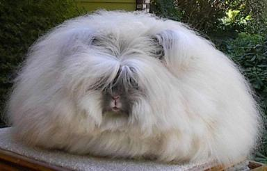 ANGORA RABBIT  Englishlearning and pronunciation courses