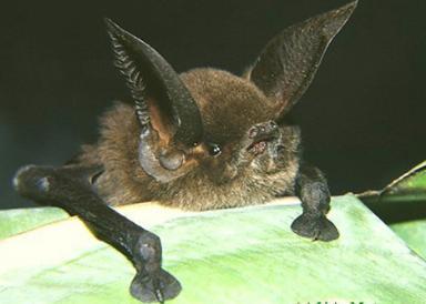 Мадагаскарский присосконог (Sucker-footed Bat)