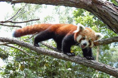 Красная панда (Red Panda)