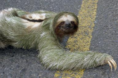 Ленивец (Sloth)