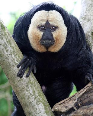Белолицый саки (Saki Monkey)