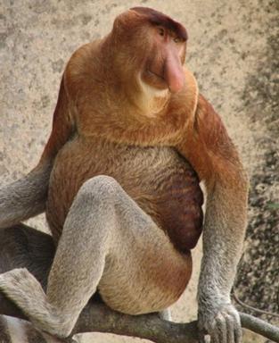Обыкновенный носач, или Кахау (Proboscis Monkey)