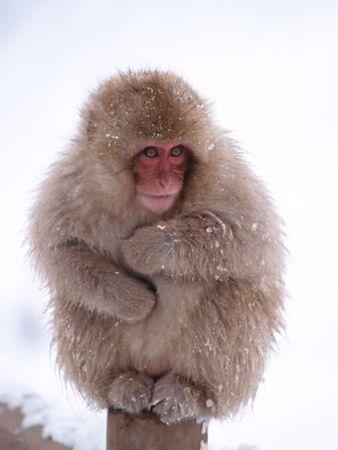 Японская снежная макака