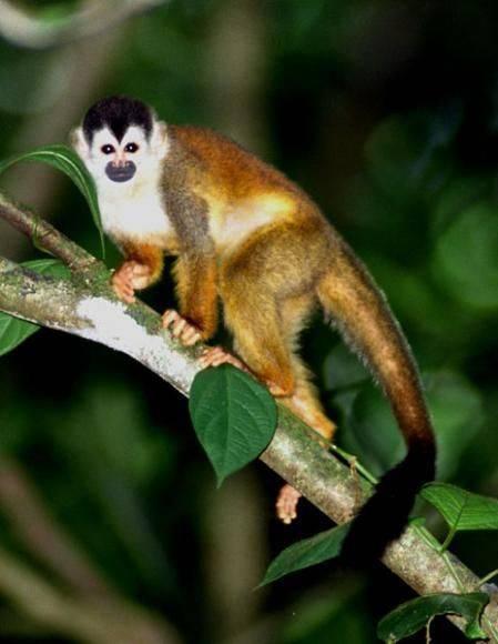 Белко-обезьяна (Squirrel Monkey)