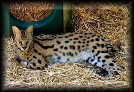 Кошка Саванна (Savannah Cat)