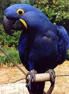 Гиацинтовый ара (Hyacinth Macaw)