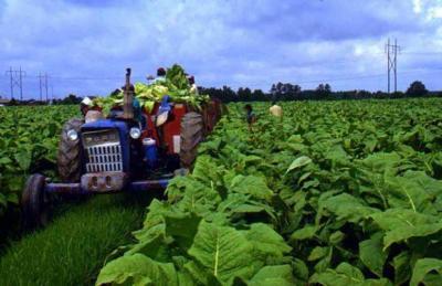 Сбор уражая на плантации в Южной Каролине.